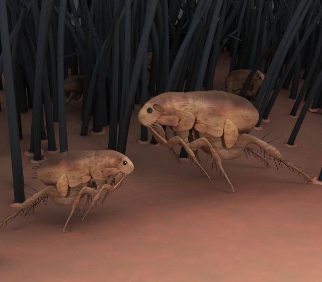 Tungoza przenoszona jest przez najmniejszą pchłę na świecie