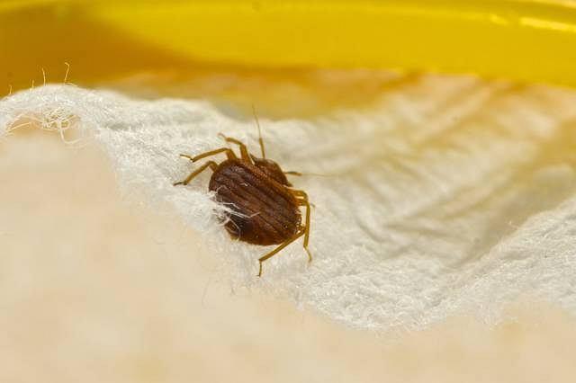 Choroba Chagasa przenoszona jest przez pierwotniaka żerującego na niektórych gatunkach pluskiew
