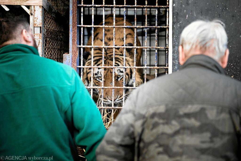 Zatrzymane tygrysy z Włoch na przejściu granicznym z Białorusią w Koroszczynie