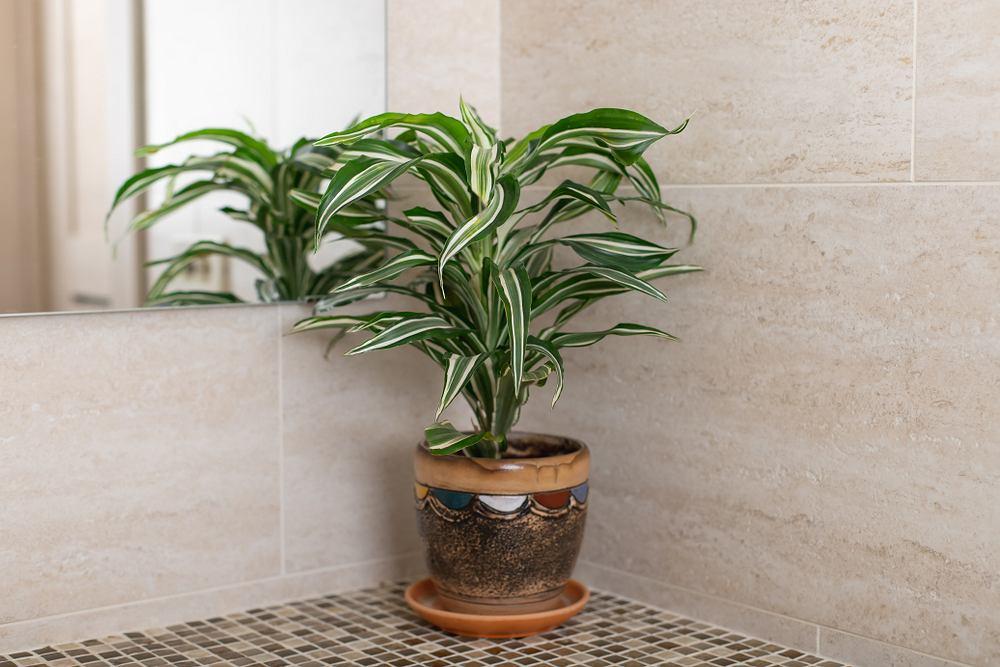 Dracena to łatwa w uprawie roślina. Zdjęcie ilustracyjne