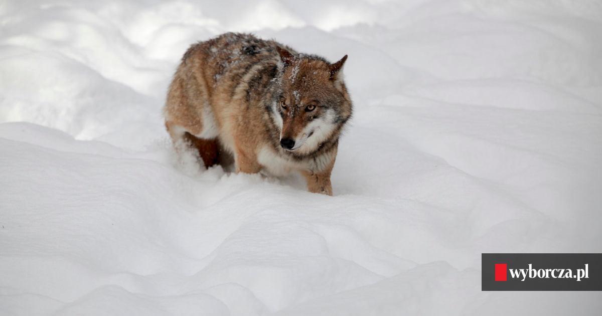 Masywnie Wilki weszły na posesję i zagryzły psa. 'Bzdurą są głosy, że wilk ID19