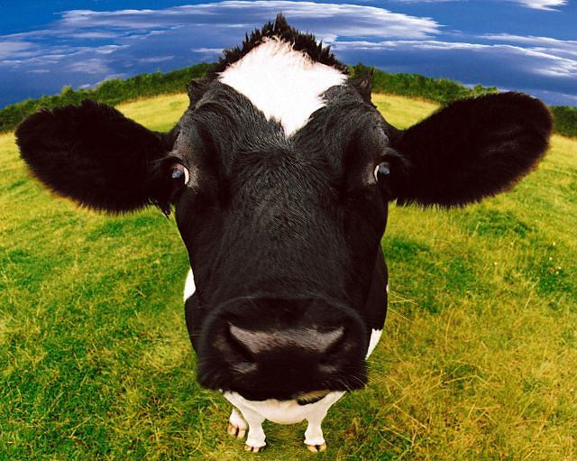Krowa też człowiek