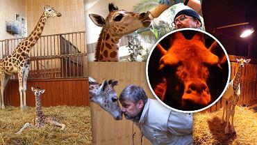 Żyrafek mieszkający w stołecznym ogrodzie zoologicznym.