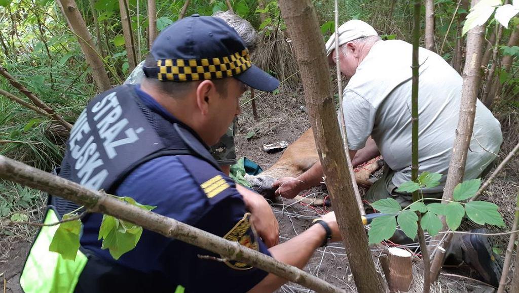 Dzięki turyście z Kanady udało się uratować jelonka, który zaplątał się w drut