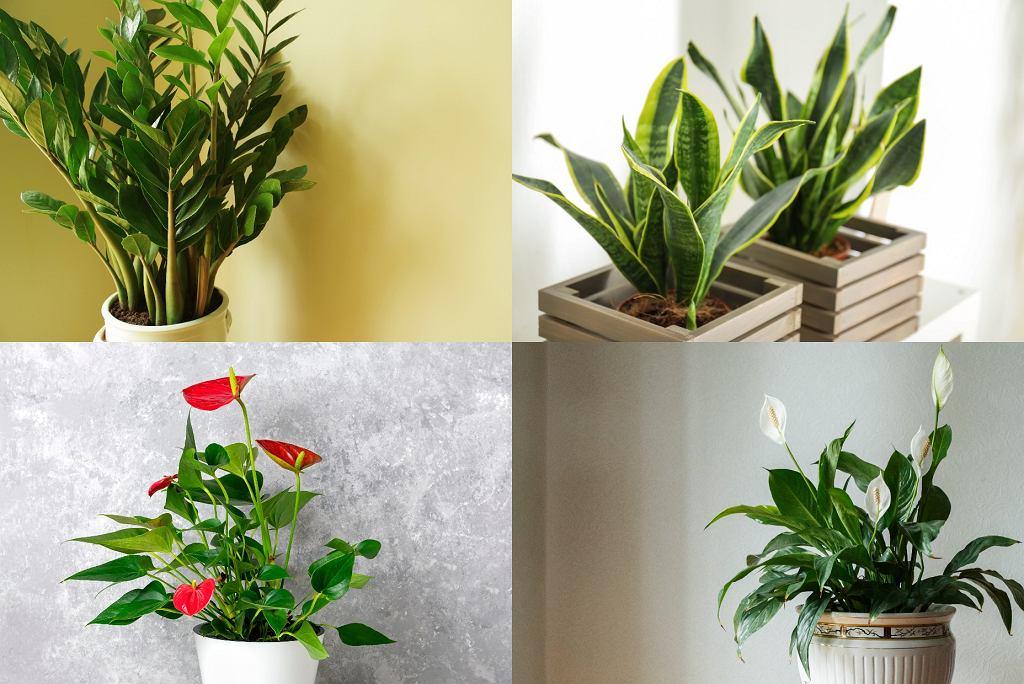 kwiaty do łazienki - zamiokulkas, saweriewia, anturium, skrzydłokwiat