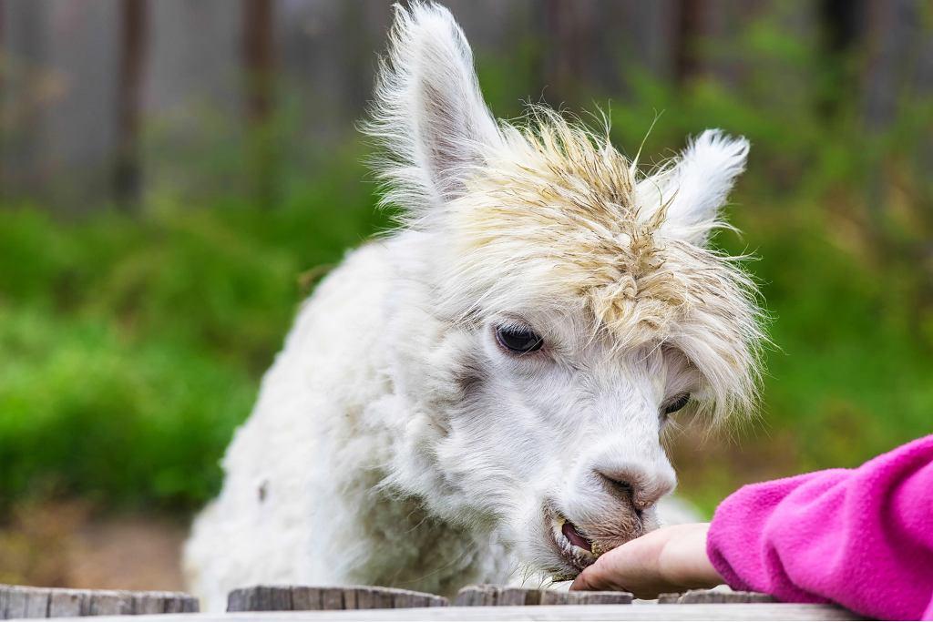 Alpakoterapia, jak wskazuje nazwa, to terapia z udziałem alpak