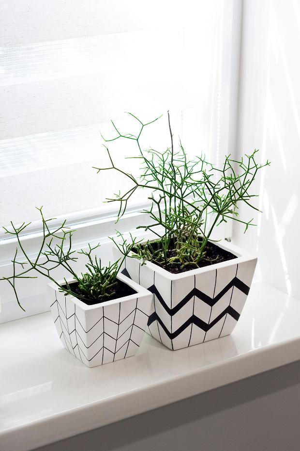 Rhipsalis to bardzo efektowna roślina. Zdjęcie ilustracyjne