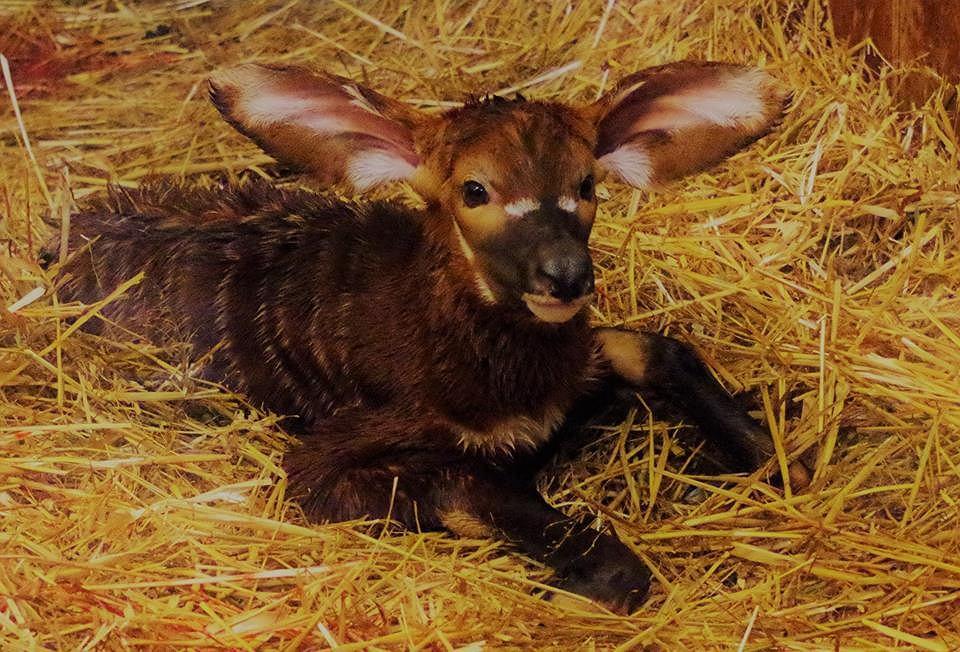 Nowo narodzona antylopa bongo