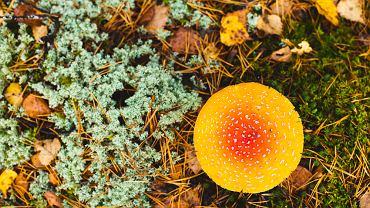 Muchomor cytrynowy, należy do rodziny muchomorowatych