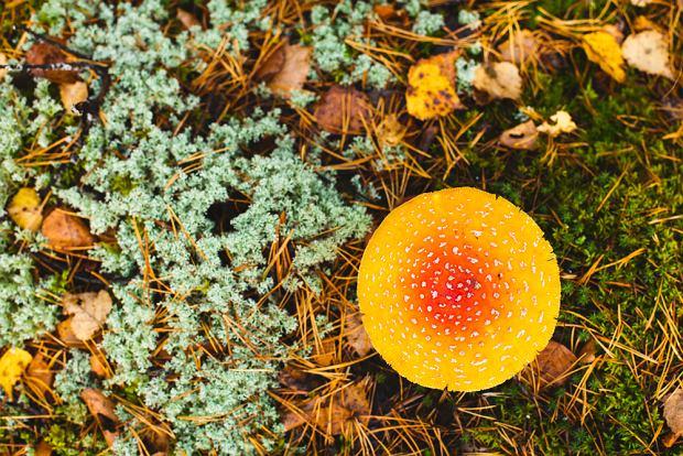 Muchomor cytrynowy - jak wygląda, gdzie występuje. Czy muchomor cytrynowy jest jadalny?