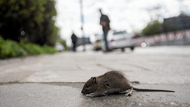 Szczur - zdjęcie ilustracyjne