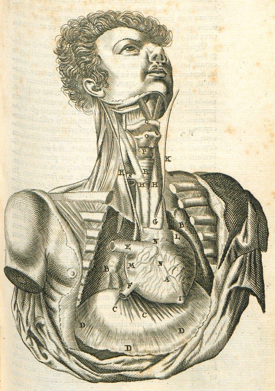 Thomas Bartholin, XVII-duński badacz, jest uznawany za jednego z najważniejszych anatomów. Opracowany przez niego atlas anatomiczny doczekał się kilku wydań. Ryciny w atlasie anatomicznym Bartholina, znajdującego się w zbiorach Cyfrowej Biblioteki Polona zwracają uwagę szczegółowymi indywidualnymi cechami ciał poddawanych sekcji - rysami twarzy czy fryzurami. Na tej ilustracji przedstawiono tchawicę i serce.