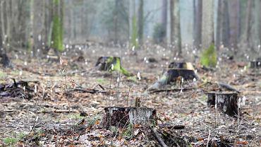 Wycinka Puszczy Białowieskiej. Okolice Hajnówki