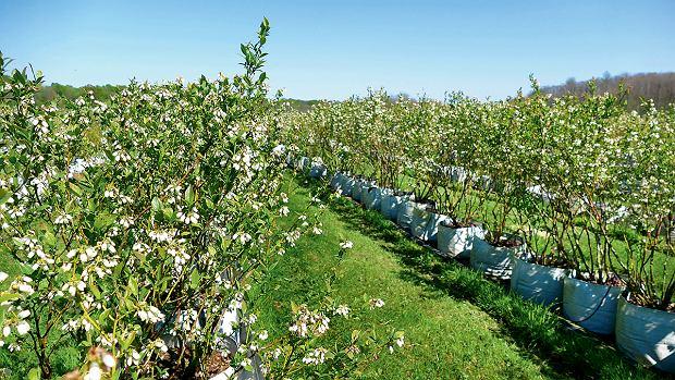 Karwowscy jako pierwsi założyli plantację na południu Europy, na zdjęciu rosnące wpojemnikach kwitnące krzewy zplantacji wChorwacji - tam gleba nie nadaje się douprawy borówek, zatojest dużo słońca