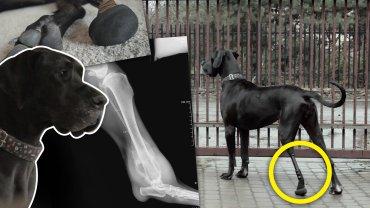 Pies z tytanową nogą