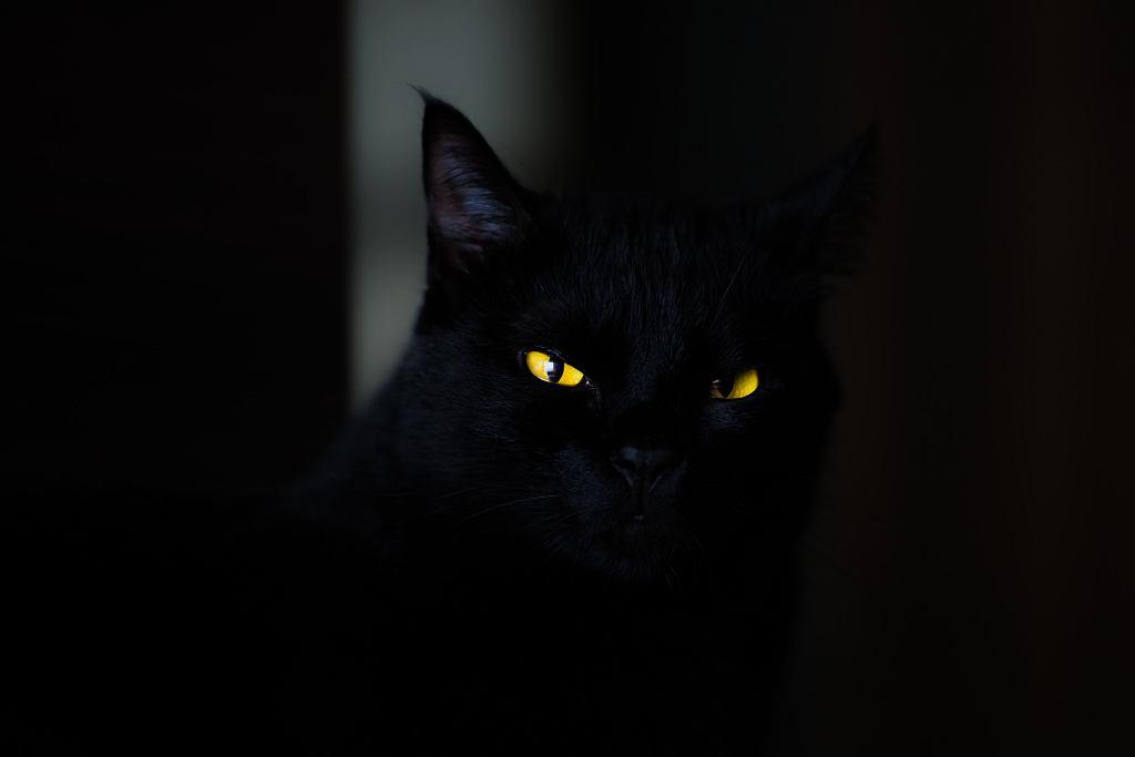 Czarny kot - wierzę, które według przesądu przynosi pecha (zdjęcie ilustracyjne)
