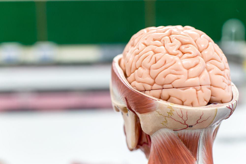 Naukowcy z Uniwersytetu Alabama odkryli w ludzkim mózgu bakterie, które występują w jelitach