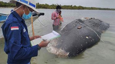 Indonezja. W ciele martwego wieloryba znaleziono sześć kilogramów śmieci