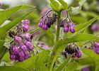 Żywokost - co to za roślina, jakie ma właściwości i kiedy warto po nią sięgnąć?