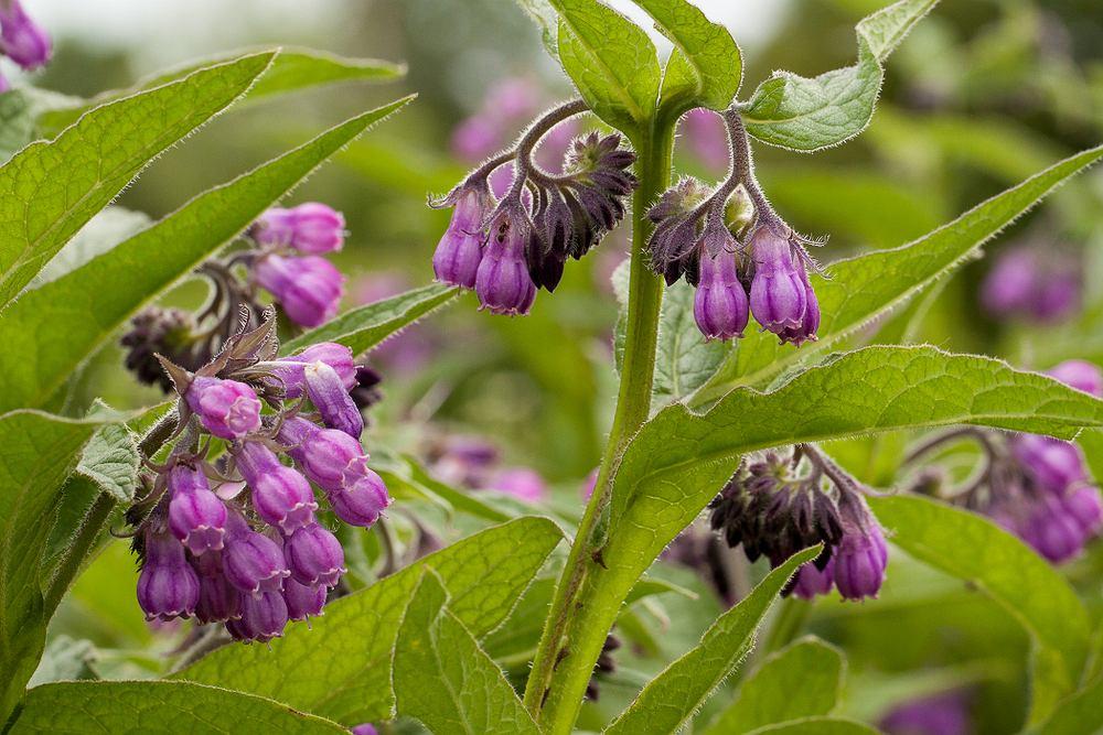 Żywokost od wielu lat wykorzystywany jest w ziołolecznictwie