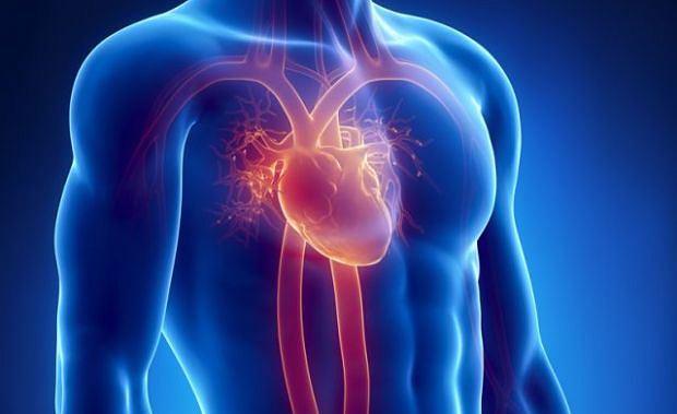 Ludzkie serce tworzy się już w 3. tygodniu życia płodowego