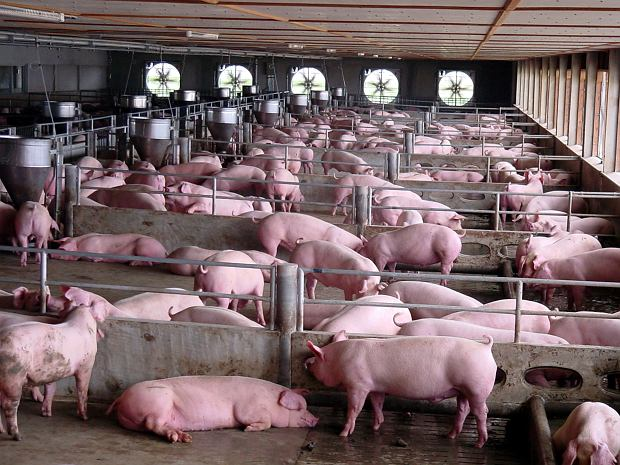 Chińska farma świń