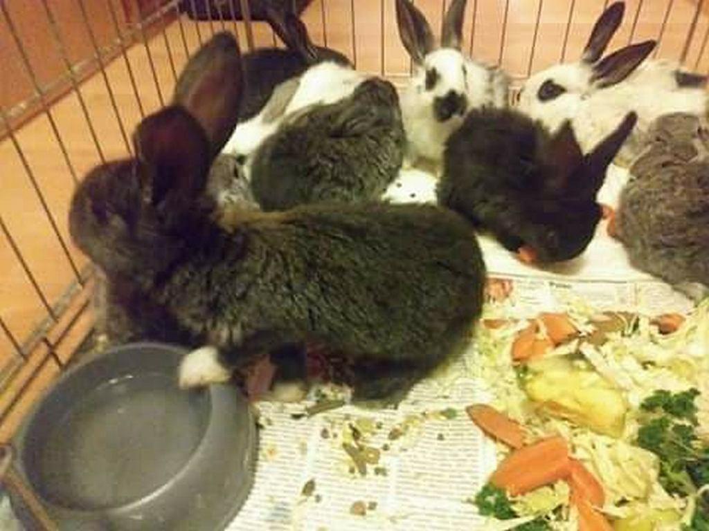 Maltretowane króliki w gminie Tuchomie