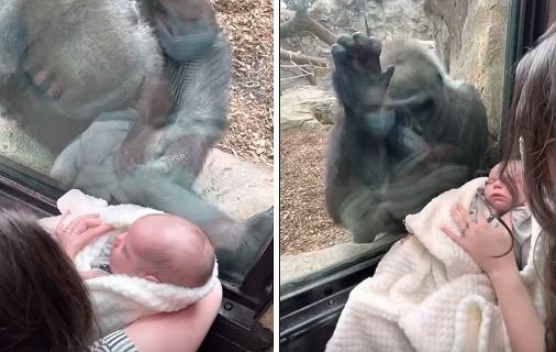 """Pokazywała dziecku goryla w ZOO. Wtedy przyniósł swoje """"dziecko"""""""