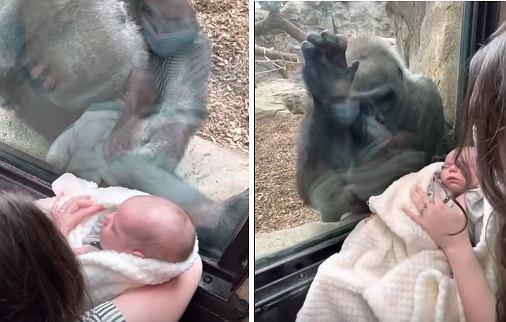 Goryl Kiki i niemowlę