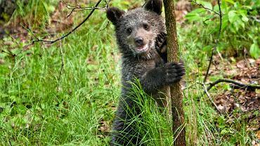 Mała niedźwiedzica Cisna