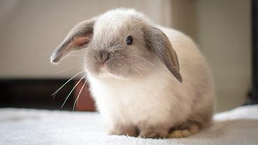 Królik miniaturka jest karłowatą wersją swoich braci w standardowej wielkości. Mini króliki występują w wielu rasach i różnią się od siebie rozmiarem, wagą, kolorem sierści, jej długością i cechami szczególnymi - szacuje się, że obecnie jest ponad 100 ras królików miniaturek.