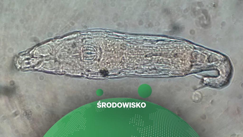 Bdelloidea Rotifera