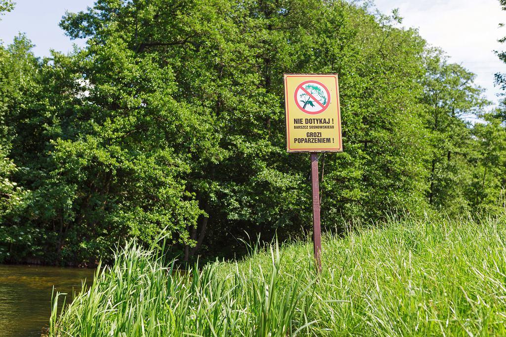 Niebezpieczne rośliny, przed którymi należy ostrzec dzieci. Barszcz Sosnowskiego to tylko jedna z pułapek