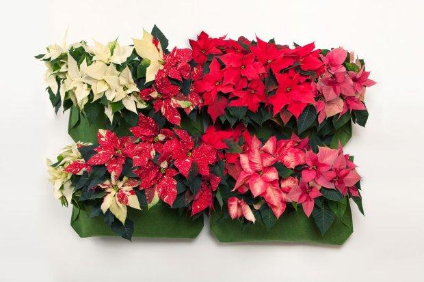 Ozdoby świąteczne: gwiazda betlejemska na ścianie
