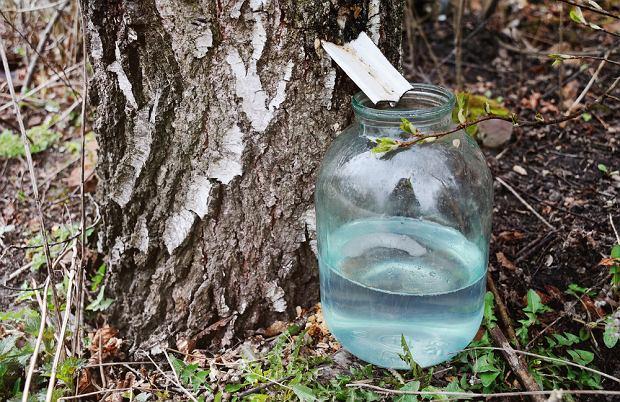 Słoik na sok brzozowy można ustawić również na ziemi obok drzewa