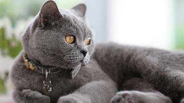 Kot brytyjski nazywany jest potocznie także Brytyjczykiem i jest największy wśród kotów krótkowłosych.