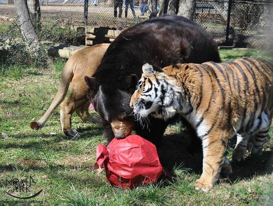 Zdjęcie numer 4 w galerii - Niedźwiedź, lew i tygrys. Ich przyjaźń trwa od 15 lat