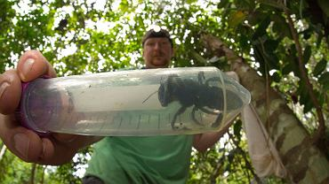 Pszczoła Wallace'a