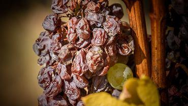 Do produkcji tokaju używany jest gronowiec szary (botrytis cinerea), specjalny rodzaj pleśni, który sprawia, że winogrona kurczą się i wysychają, będąc jeszcze na roślinie