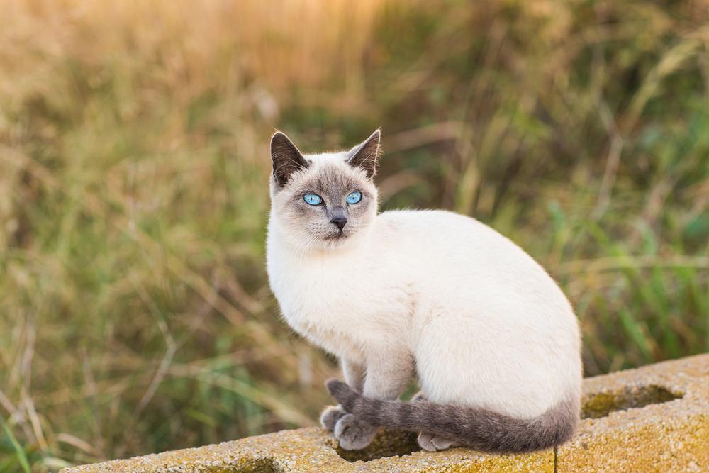 Koty syjamskie mają dużo energii i ciężko nakłonić je do spędzania czasu na kanapie.