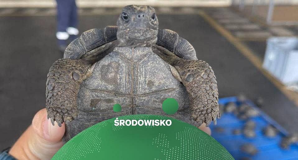 Próbowano przemycić 185 żółwi z Galapagos. Były zawinięte w folię i zapakowane w jedną walizkę