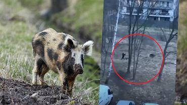 Kraków. Kobieta w dzikim pędzie uciekała przed dzikiem