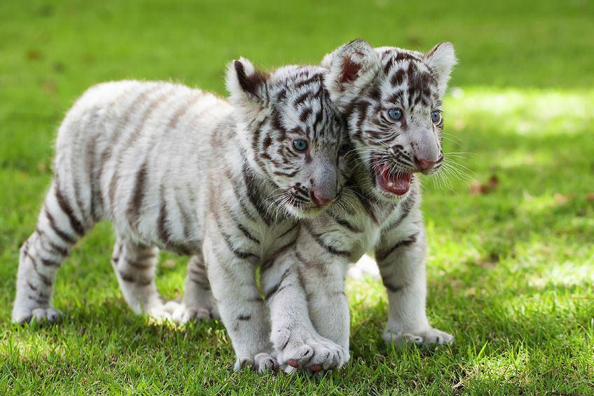 kojarzenie tygrysów ii