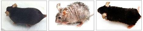 W porównaniu z dziką myszą (pierwsza od lewej), ta doświadczalna sporo się zmieniła na przestrzeni 12 tygodni. Najpierw została postarzona (pośrodku), a następnie w ciągu czterech tygodni odmłodzona (po prawej)