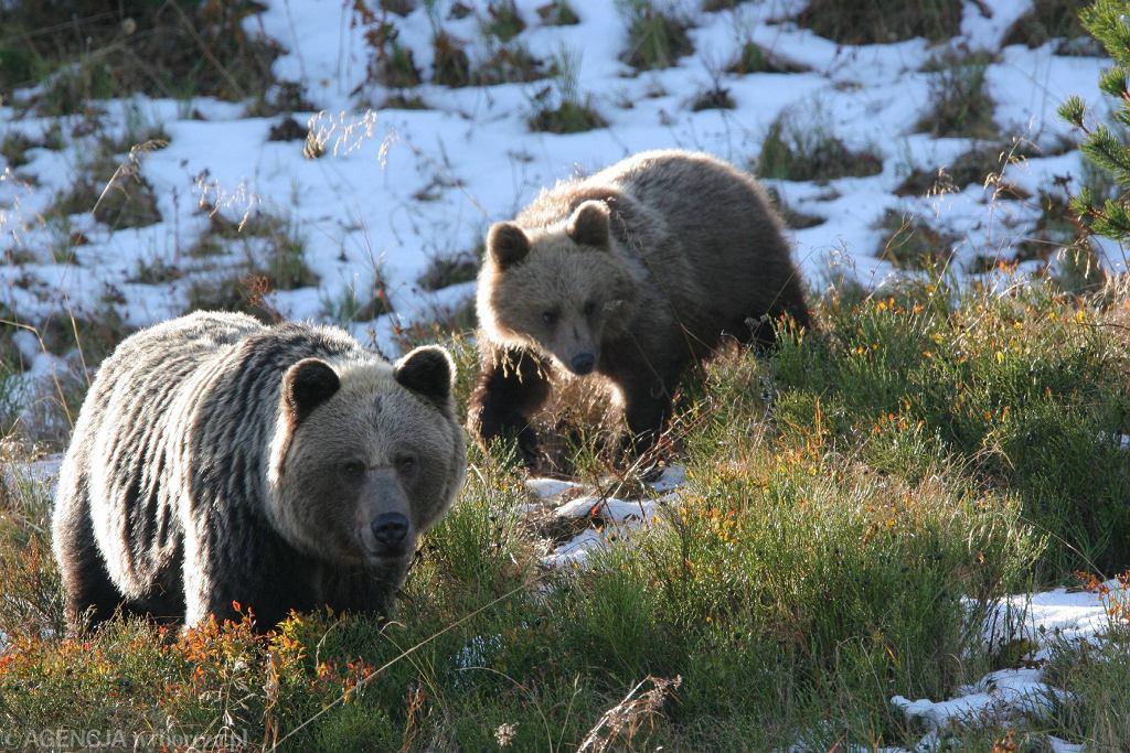 Niedźwiedzie w Tatrach w 2008 roku (zdjęcie ilustracyjne)