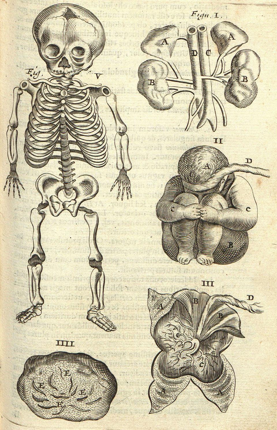 Anatomia płodu ludzkiego;