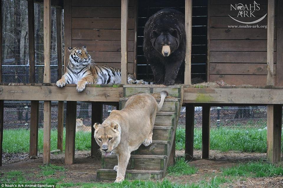Zdjęcie numer 3 w galerii - Niedźwiedź, lew i tygrys. Ich przyjaźń trwa od 15 lat