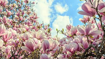 Magnolia jest piękną ozdobą każdego ogrodu. Zdjęcie ilustracyjne, ncristian/shutterstock.com