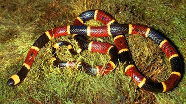 Koralówki są rodzajem jadowitych węży z rodziny zdradnicowatych.  Węże te są bardzo jaskrawo ubarwione (kombinacja kolorów czarnego, żółtego i czerwonego)