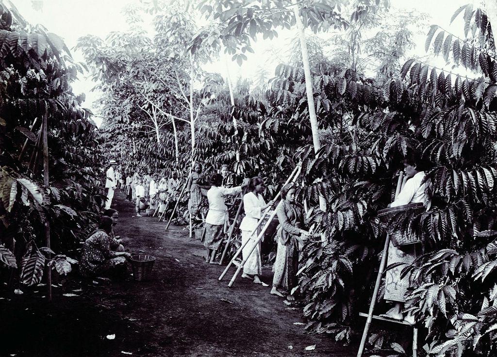 Kobiety pracujące na plantacji kawy, prawdopodobnie na Jawie (1915 rok)
